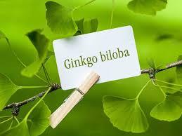 A ginko biloba jótékony hatásai az emberi szervezetre